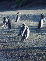 Pinguine3.jpg (144076 Byte)